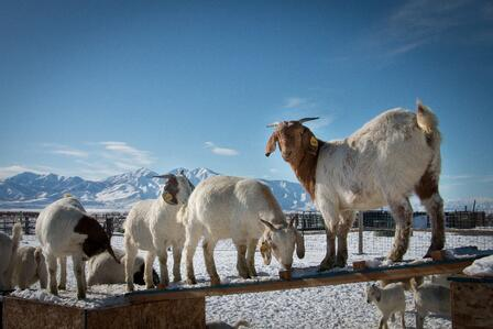The International Rescue Committee in Salt Lake City is part of the East African Refugee Goat Project