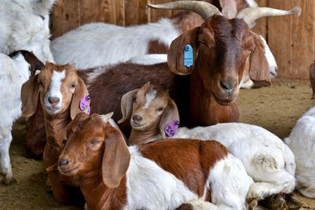 The International Rescue Committe (IRC) in Salt Lake City is part of the East African Refugee Goat Project.