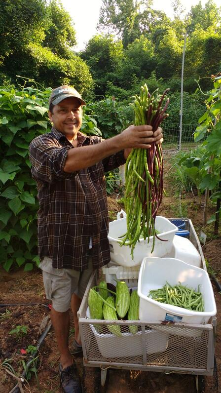 Man stands surrounding by lush green plants.  He holds two large bunches of long green and purple beans.  There are harvest bins full of produce at his feet.