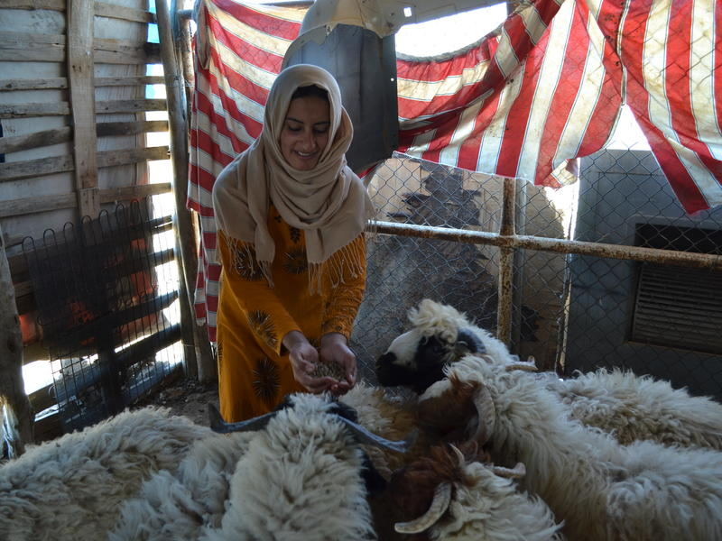 Farmer Safia feeds her sheep