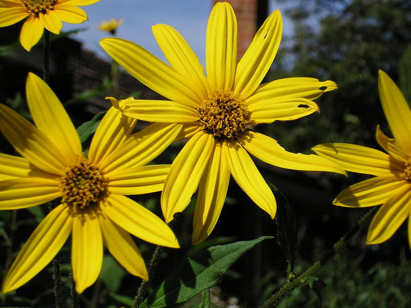 Image of Helianthus tuberosus that produces bright yellow flowers and a starchy, edible root.