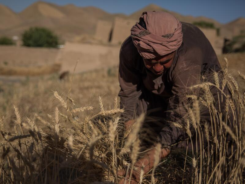 A 30-year-old man crouches down while working in a parched grain field in Afghanistan.