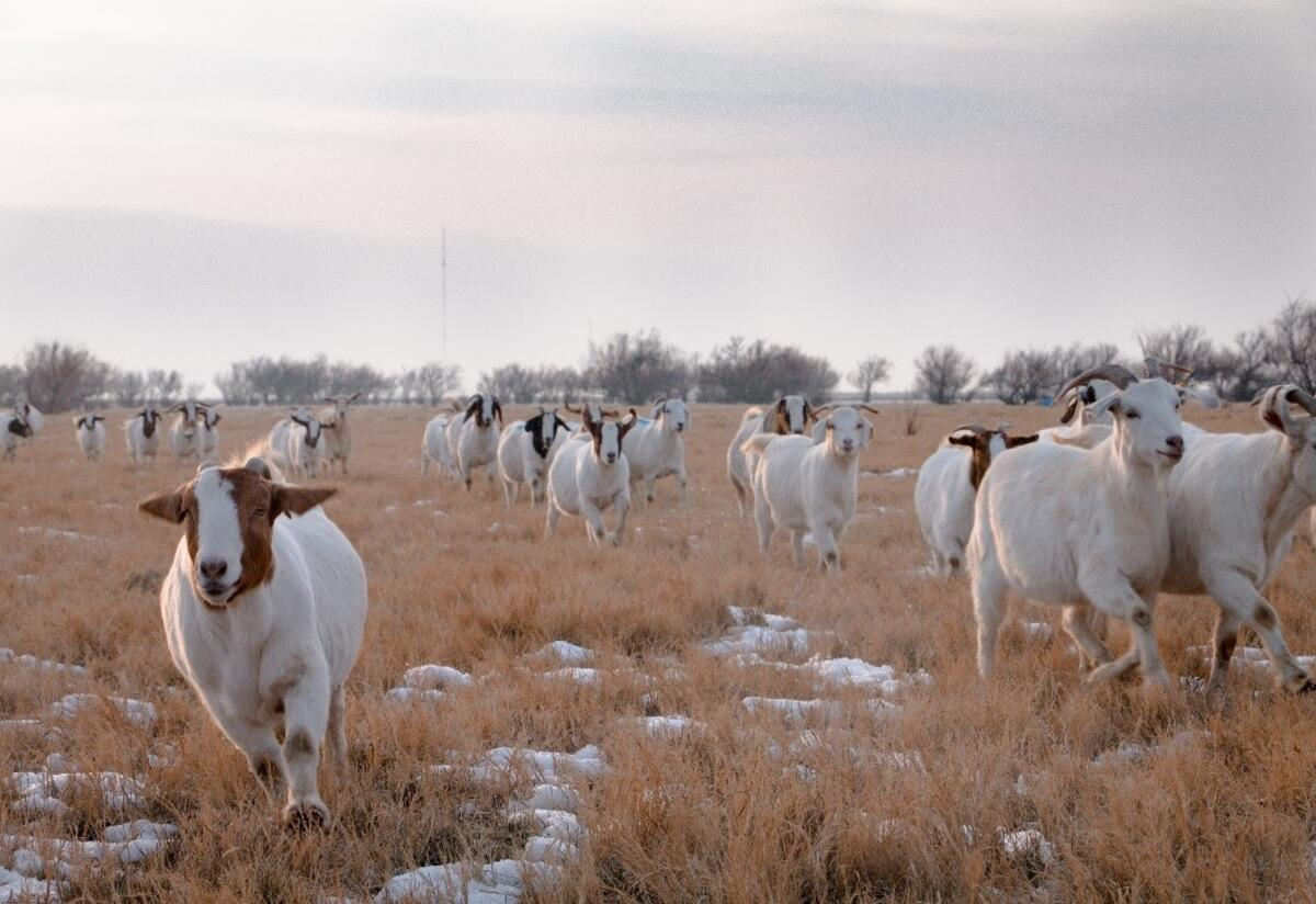 Utah Refugee Goats, founded by the East African Refugee Community, manages a large heard of goats outside of Salt Lake City.