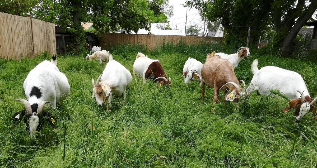 Goats from the East African Refugee Goat Project, a program of the International Rescue Committee in Salt Lake City, graze on an overgrown backyard.