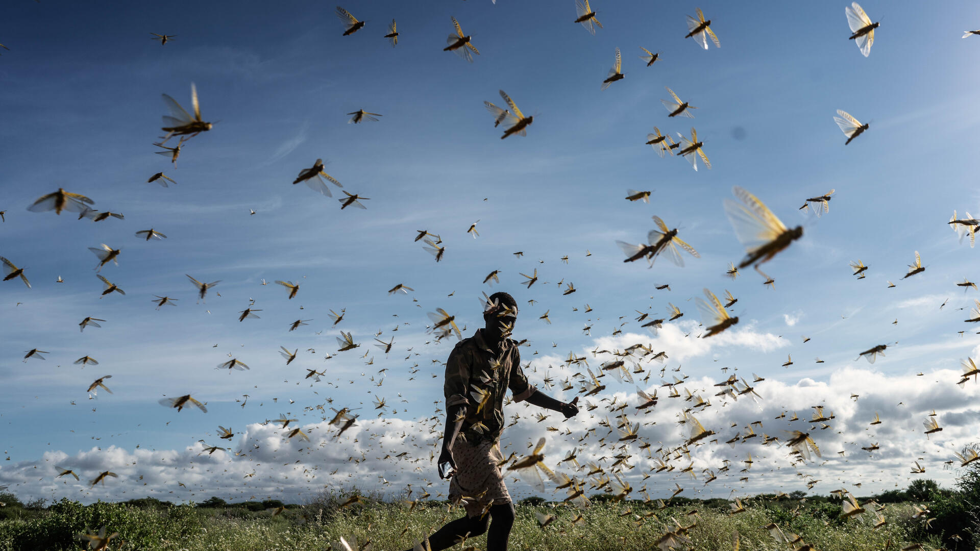 A man chases away a swarm of desert locusts in a field in Kenya.